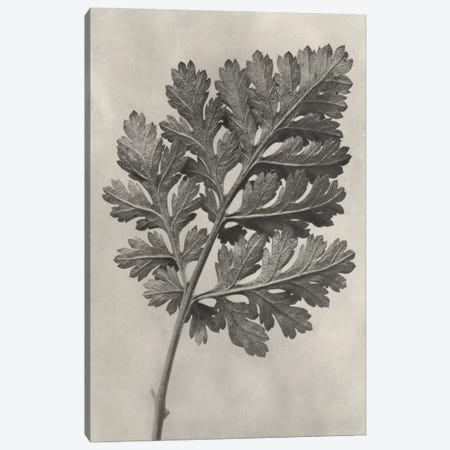 Blossfeldt Botanical III Canvas Print #BLS3} by Karl Blossfeldt Canvas Artwork