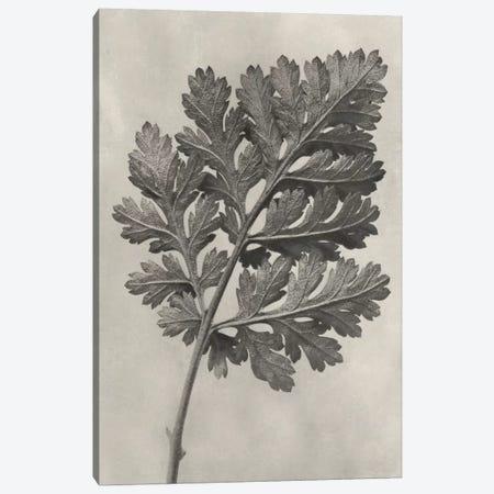 Blossfeldt Botanical III Canvas Print #BLS3} by Karl Blossfeldt Canvas Artwork
