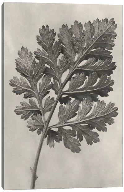 Blossfeldt Botanical III Canvas Art Print
