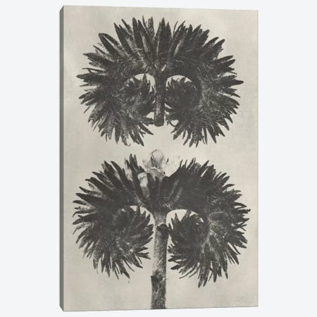 Blossfeldt Botanical V Canvas Print #BLS5} by Karl Blossfeldt Art Print