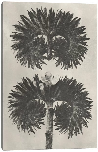 Blossfeldt Botanical V Canvas Art Print