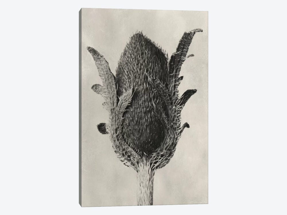 Blossfeldt Botanical VI by Karl Blossfeldt 1-piece Canvas Artwork