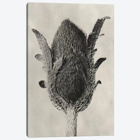 Blossfeldt Botanical VI Canvas Print #BLS6} by Karl Blossfeldt Art Print