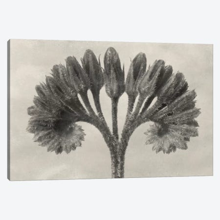 Blossfeldt Botanical VII Canvas Print #BLS7} by Karl Blossfeldt Canvas Print