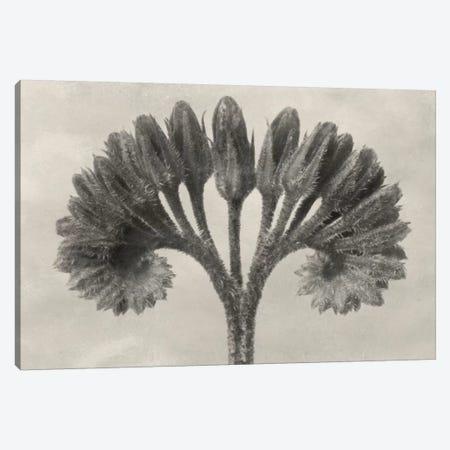 Blossfeldt Botanical VII Canvas Print #BLS7} by Karl Blossfeldt Canvas Print