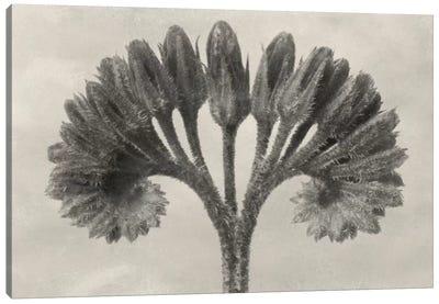 Blossfeldt Botanical VII Canvas Art Print