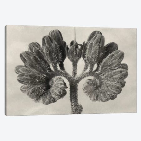 Blossfeldt Botanical VIII Canvas Print #BLS8} by Karl Blossfeldt Canvas Artwork