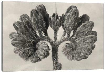 Blossfeldt Botanical VIII Canvas Art Print