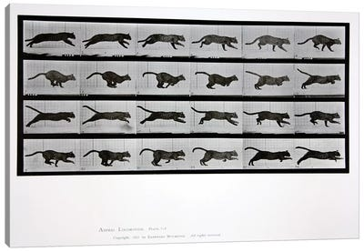 Cat running, plate 720 from 'Animal Locomotion', 1887  Canvas Art Print