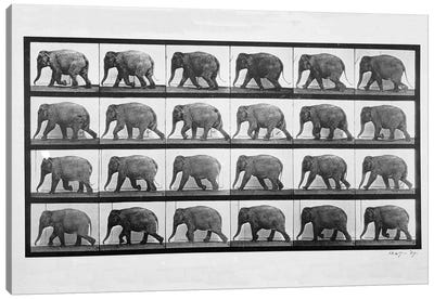 Elephant walking, plate 733 from 'Animal Locomotion', 1887  Canvas Art Print