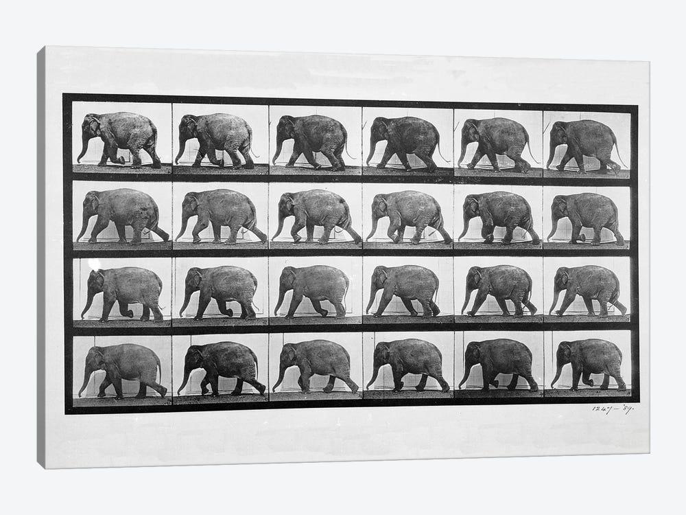 Elephant walking, plate 733 from 'Animal Locomotion', 1887  by Eadweard Muybridge 1-piece Canvas Wall Art