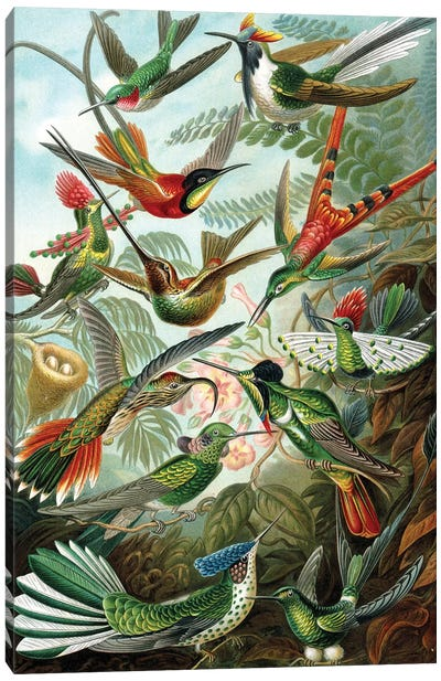 Example from the family Trochilidae, 'Kunstformen der Natur', 1899  Canvas Art Print