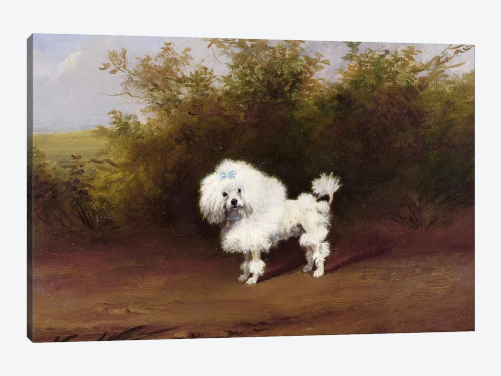 A Toy Poodle in a Landscape  by Frederick French 1-piece Canvas Print