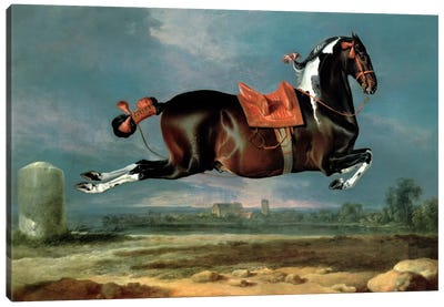 The piebald horse 'Cehero' rearing Canvas Art Print
