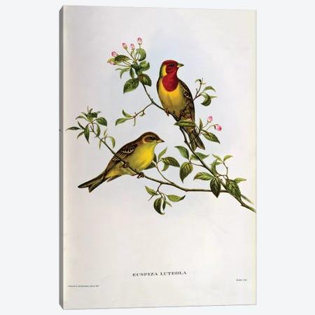 Euspiza Luteola, 19th century  Canvas Print #BMN10718} by John Gould Canvas Art Print