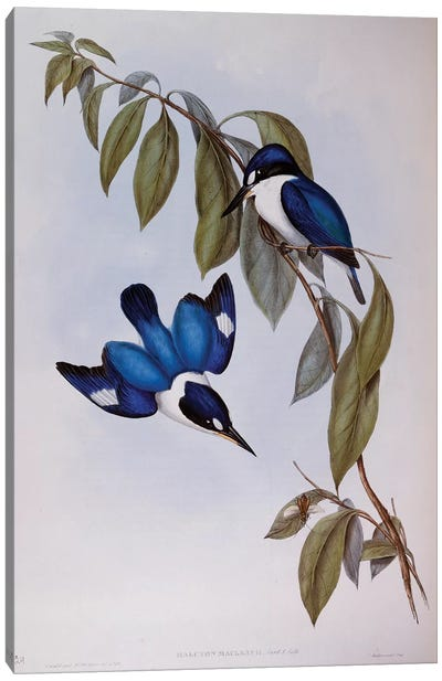 Forest Kingfisher , engraving from Birds of Australia, 1848, by John Gould , volume II, Table 24, United Kingdom, 19th century Canvas Art Print