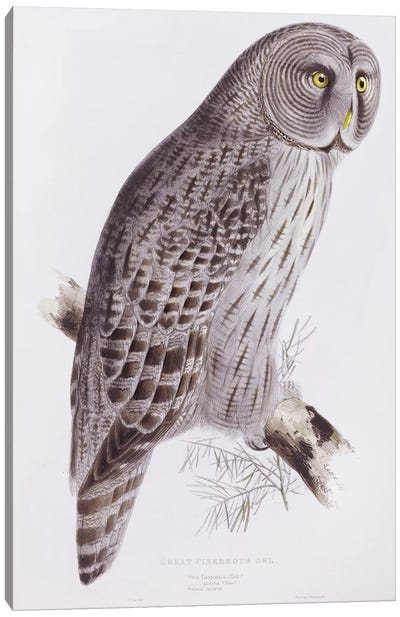 Great Cinereous Owl, from 'The Birds of Great Britain', published London, 1862-73  Canvas Art Print