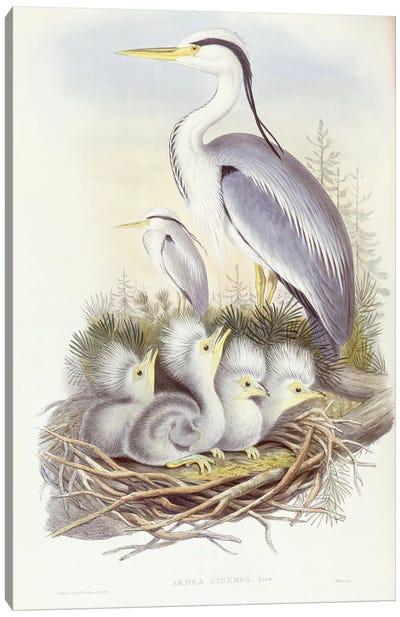 Grey heron , Engraving by John Gould Canvas Art Print