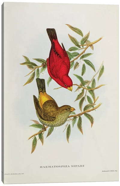 Haematospiza Sipahi, illustration from 'Birds of Asia', Vol. I, Parts I-VI,by John Gould, 1850-54  Canvas Art Print