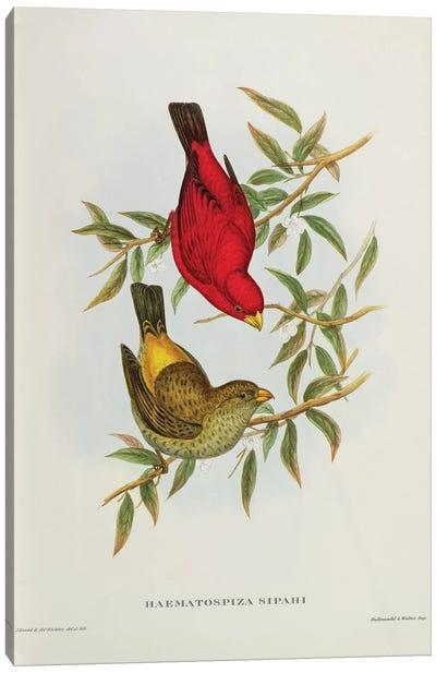 Haematospiza Sipahi, illustration from 'Birds of Asia', Vol. I, Parts I-VI,by John Gould, 1850-54  Canvas Art Print