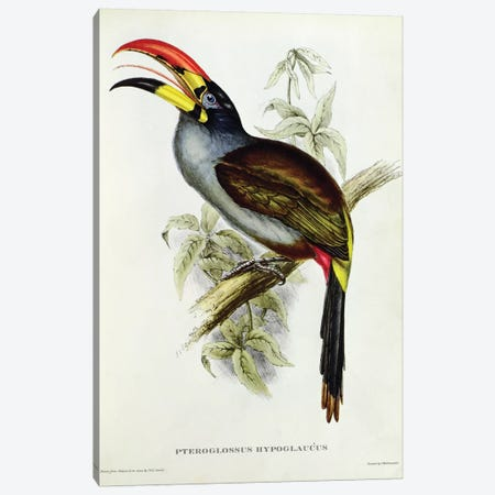 Pteroglossus Hypoglaucus from 'Tropical Birds' Canvas Print #BMN10723} by John Gould Canvas Art