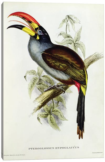 Pteroglossus Hypoglaucus from 'Tropical Birds' Canvas Art Print