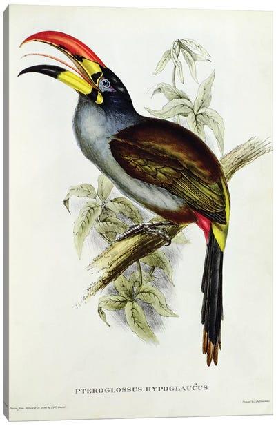 Pteroglossus Hypoglaucus from 'Tropical Birds' Canvas Art Print