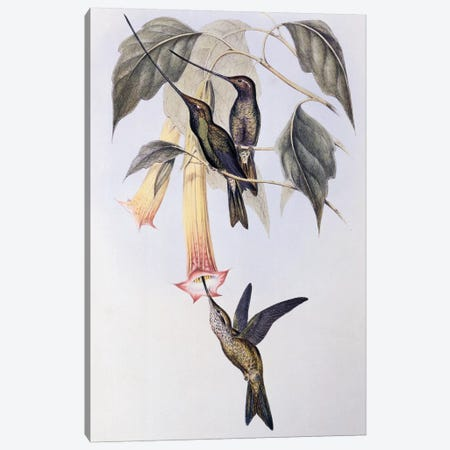 Sword-billed Humming Bird , 1849 illustration for A Monograph of the Trochilidae or Hummingbirds, by John Gould  Canvas Print #BMN10724} by John Gould Canvas Print