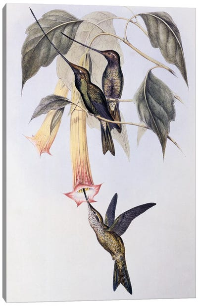 Sword-billed Humming Bird , 1849 illustration for A Monograph of the Trochilidae or Hummingbirds, by John Gould  Canvas Art Print