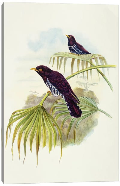 Violet cuckoo , Engraving by John Gould Canvas Art Print
