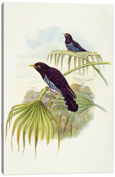 Violet cuckoo , Engraving by John Gould Canvas Art Print