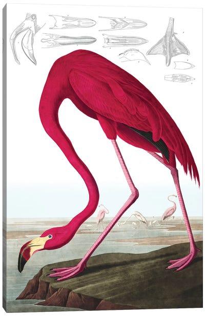 "American Flamingo, Phoenicopterus Ruber, from ""The Birds of America"" by John J. Audubon, pub. 1827-38  Canvas Art Print"