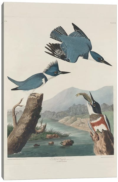 Belted Kingsfisher, 1830  Canvas Art Print