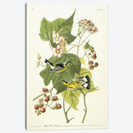 Black and Yellow Warbler and Flowering Raspberry, c.1826-1838  Canvas Print #BMN10737} by John James Audubon Canvas Wall Art
