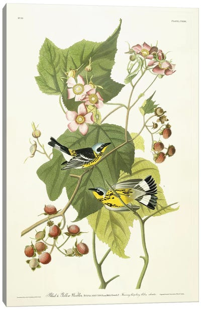 Black and Yellow Warbler and Flowering Raspberry, c.1826-1838  Canvas Art Print