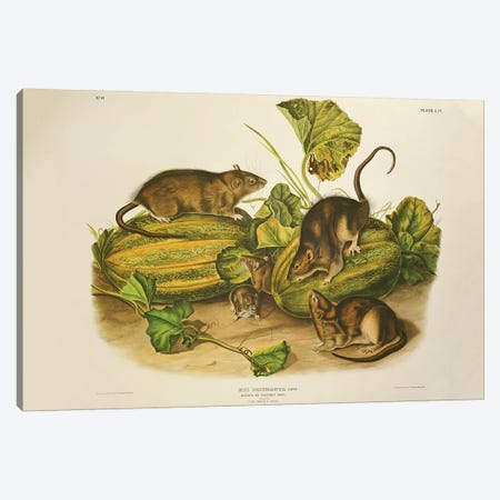 Brown, or Norway Rat, engraved by John T. Bowen  published 1845  Canvas Print #BMN10741} by John James Audubon Canvas Wall Art