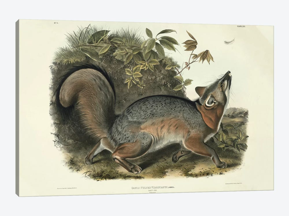 Canis  Virginianus , plate 21 from 'Quadrupeds of North America', engraved by John T. Bowen , 1843  by John James Audubon 1-piece Canvas Art Print