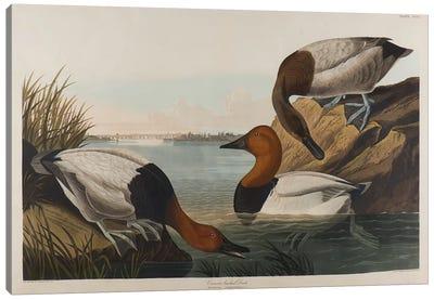 Canvas Backed Duck, 1836  Canvas Art Print