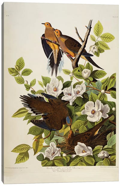Carolina Turtledove. Mourning Dove,  plate XVII from 'The Birds of America'  Canvas Art Print
