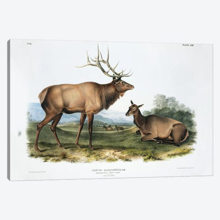 Cervus Canadensis (American Elk or Wapiti), Plate LXII, The Viviparous Quadrupeds Of North America (Vol. II) Canvas Print #BMN10745} by John James Audubon Art Print