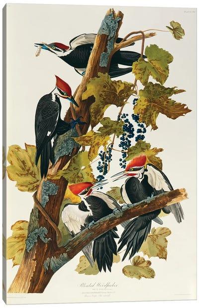 Pileated Woodpecker (Plate 111, Birds Of America) Canvas Art Print