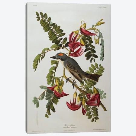 Gray Tyrant. Gray Kingbird  from 'The Birds of America'  Canvas Print #BMN10753} by John James Audubon Canvas Print