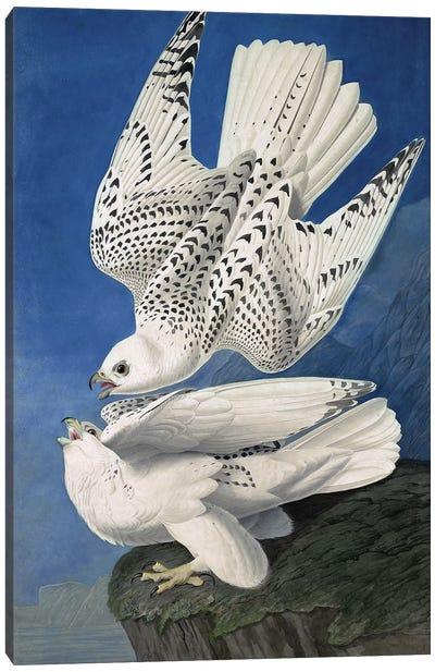 "Jer or Iceland Falcon, Falco Islandicus, , from ""The Birds of America"" by John J. Audubon, pub. 1827-38  Canvas Art Print"