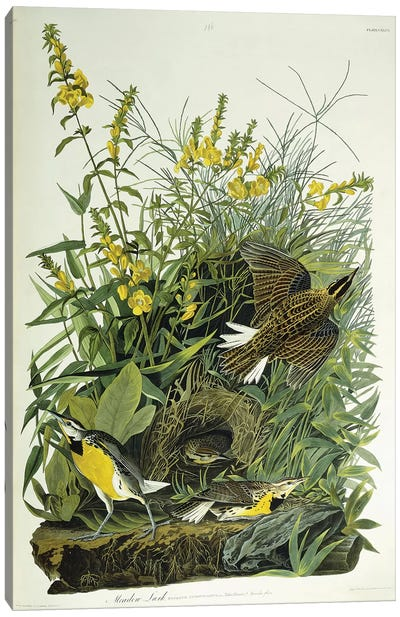Meadow Lark, 1832  Canvas Art Print