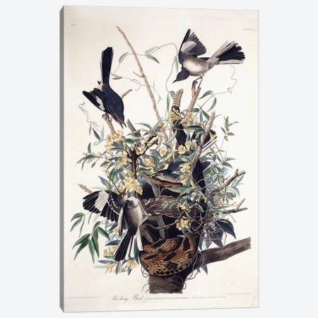 Mocking Bird , 1827-1838  Canvas Print #BMN10761} by John James Audubon Canvas Wall Art