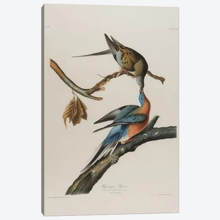 Passenger Pigeon, 1827-1838  Canvas Print #BMN10764} by John James Audubon Canvas Art Print