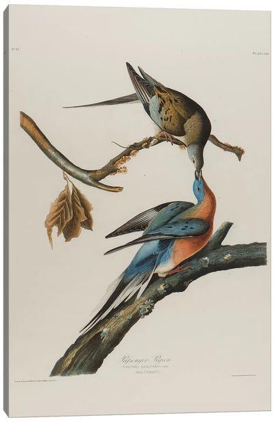 Passenger Pigeon, 1827-1838  Canvas Art Print