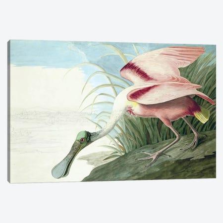 "Roseate Spoonbill, Platalea Ajaja, from ""The Birds of America"" by John J. Audubon, pub. 1827-38  Canvas Print #BMN10772} by John James Audubon Canvas Art Print"
