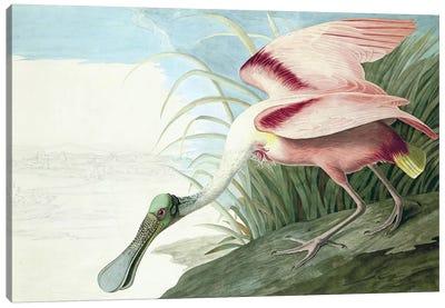 "Roseate Spoonbill, Platalea Ajaja, from ""The Birds of America"" by John J. Audubon, pub. 1827-38  Canvas Art Print"