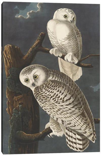 Snowy Owl, 1831  Canvas Art Print